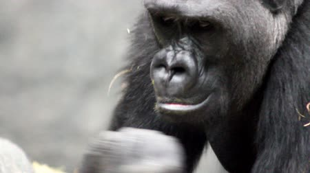 primaz : A gorilla reaches out and catches a fly, then lets it go