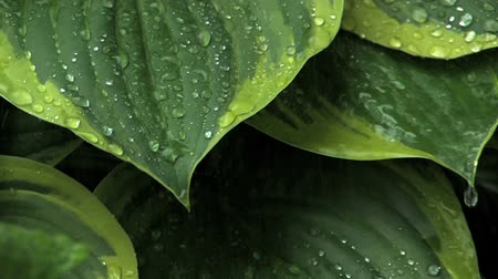 закрывать : Rain hitting and running off large leaves (with audio) Стоковые видеозаписи