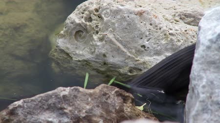 cobra : Two shots in one. A long black snake enters the water and swims along on the surface Vídeos
