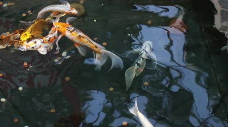 Group of colorful Koi fish swimming in a shallow pond with coins at the bottom Dostupné videozáznamy