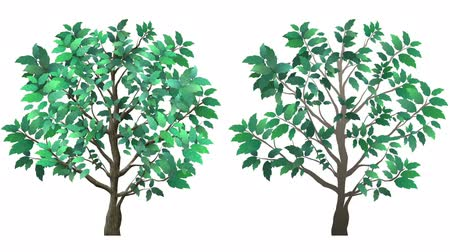 Two growing trees, with alpha channel. One tree is a little more realistic with leaf and bark texture, and more leaves. The second tree is basic and more cartoony. Dostupné videozáznamy