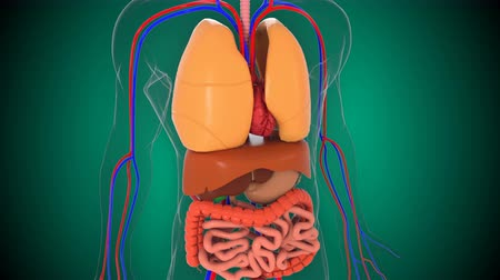 rim : Anatomy human body model, 3d rendering background, part of human body model with organ system, medical concept