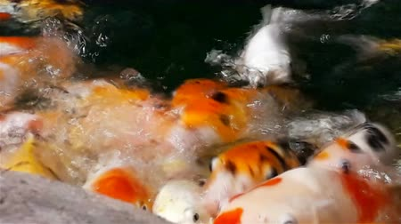 escalera : Lot of hungry orange fish koi in pond at sunny summer day, this is hand-feed fishes Stock Footage