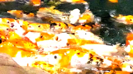 плавники : Lot of hungry orange fish koi in pond at sunny summer day, this is hand-feed fishes Стоковые видеозаписи
