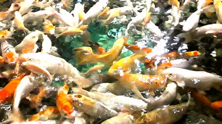 oco : Lot of hungry orange fish koi in pond at sunny summer day, this is hand-feed fishes Stock Footage