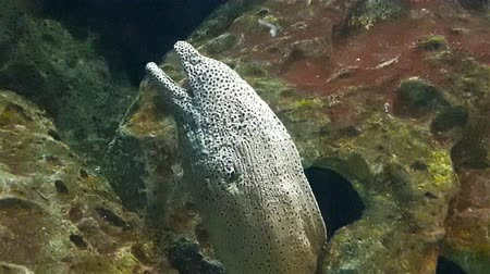 high rises : Grey tropical fish rises from hole in rock in big aquarium, close up view