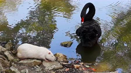 escalera : Black swan with red beak cleans feathers on water of lake in summer day