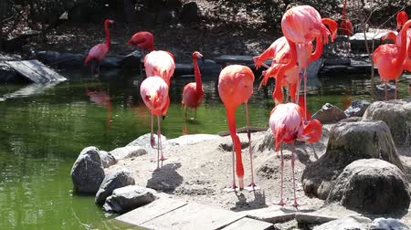 zelené oči : Group of Flamingo looking for some food.