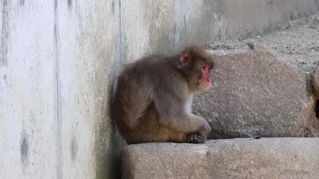primaz : Lonely monkey. macaca fuscata or Japanese macaque relaxing at zoo.