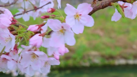 frescura : Close up of Sakura (Cherry Blossom) in Japan