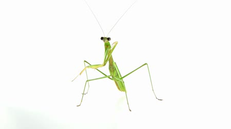 orar : Praying Mantis on white background.