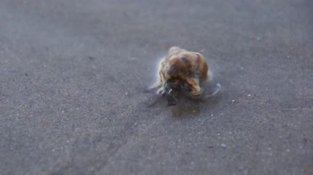 crustáceo : Hermit Crab on the beach