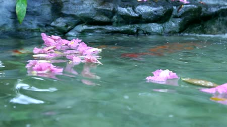 пруд : pink flower over Fancy carp ponds