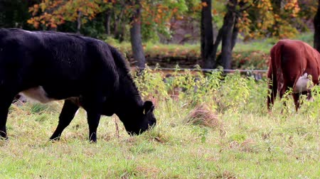 bloodstock : Cows happily grazing in the meadow. One black cow and the other one is brown; and ate the healthy grass.  Stock Footage