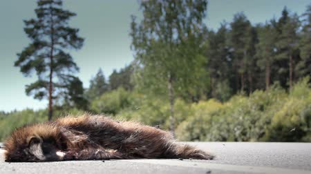 imprudence : Car passed by a dead carcass of an animal Raccoon dog mostly been hit and then an auto passed by on the scene. The animal must have died for some time since flies are swarming over the dead body.
