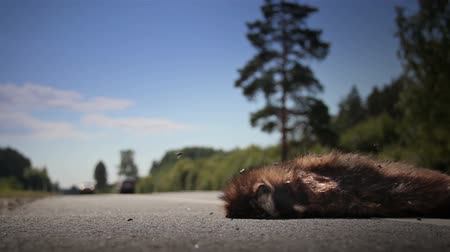 raccoon : Two family vehicles has passed by the dead animal in a hurry. The dead animal is by now swarmed with big flies. An animal Raccoon dog mostly been hit and then an auto passed by on the scene.   Stock Footage