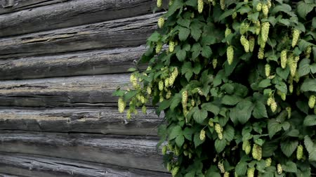 úgy néz ki : The hops are growing at the one side of the old cabin log house. The hops Humulus looks like it has walnut flowers growing. Hop use in beer. Stock mozgókép