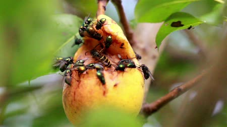 hnijící : Hymenoptera wasp large flies and a bee flocking at the rotten fruit that has been opened by a larger animal or insect.