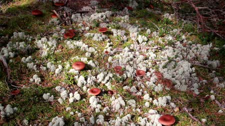 magic mushrooms : Lactarius rufus Rufous Milkcap the Red Hot Milk Capmushrooms growing on the ground where green grass is growing and a number of brown mushrooms are sprouting.