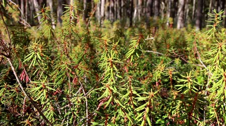 rhododendron : Tall Marsh Labrador Tea Rhododendron tomentosum shrubs found within the thick forest where tall trees can be found in the surrounding area.  Stock Footage