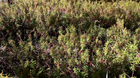 rhododendron : Overhead view of the Marsh Labrador Tea Rhododendron tomentosum shrubs growing on the ground that is found in the forest which is surrounded by tall trees.  Stock Footage