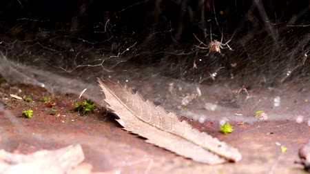 recentemente : Withered leaf and spider. There is a withered leaf lying next to a spider who has made a spider web recently.