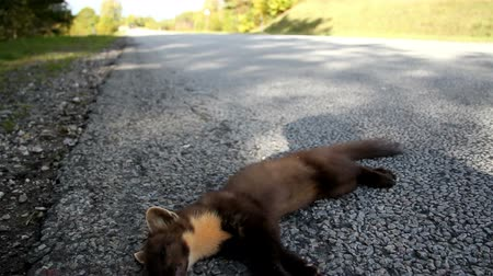 omnivore : Overhead view of the dead animal at the side of the road. The side of the road is covered in green grass and trees.