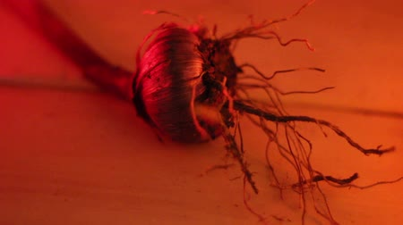 soğancık : An onion bulb with its roots under a red lighted room