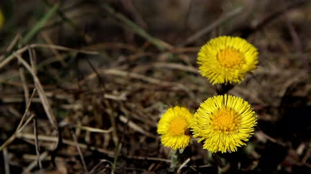 dřeň : Three yellow flowers of coltsfoot plant on the ground with withered stems around