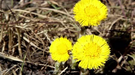 dřeň : A yellow coltsfoot on the ground with withered stems aroud the area Dostupné videozáznamy