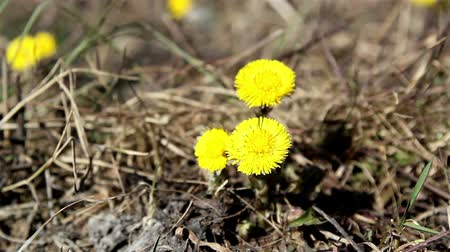 невозделанный : Closer look of the coltsfoot plant on the ground