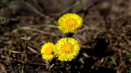 невозделанный : Yellow coltsfoot flower on the ground waving on the breeze of the wind Стоковые видеозаписи