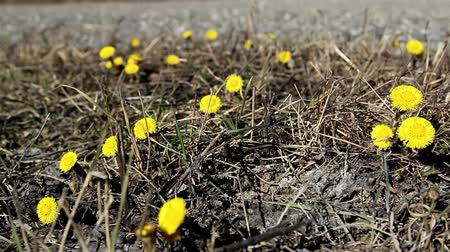 dřeň : Lots of yellow coltsfoot flowers on the ground waving on the breeze of the wind Dostupné videozáznamy