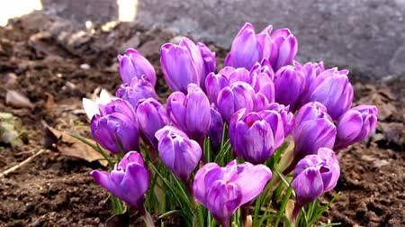 yumuşaklık : The pretty purple petals of the crocus plant Stok Video