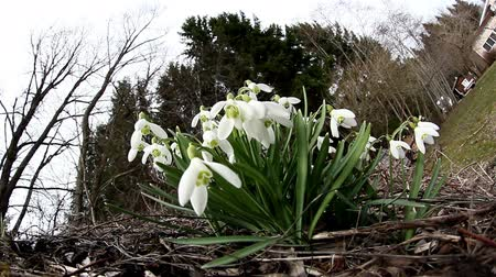 cena não urbana : The white Galanthus plant located outside the house placed on the backyard