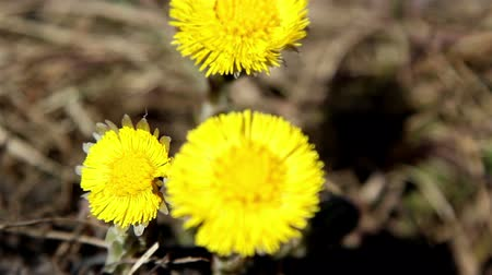 dřeň : The coltsfoot plant with yellow petals with some twigs on the ground