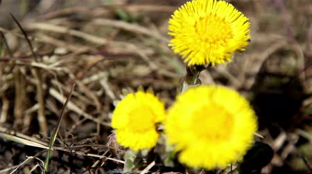 dřeň : The three yellow petal coltsfoot flower on the spring