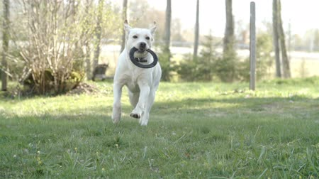 cauda : A running white labrador retriever dog with a black ring on his mouth