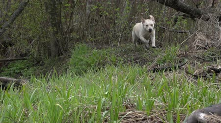 лабрадор : A slow motion running labrador dog coming the bushes of grass