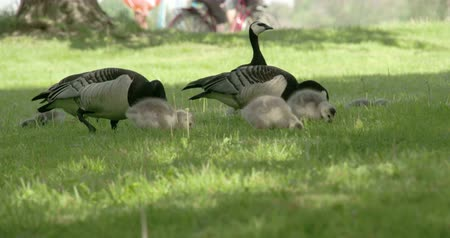 kullancs : Couple of Barnacle goose with their gosling on the grass eating something 4K