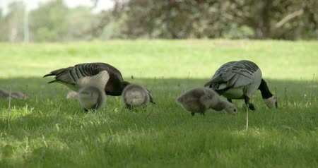 kullancs : Two goose and three goslings eating on a slow motion on the grass 4K