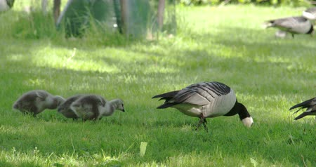 kullancs : A mother goose and her goslings are following her on the park 4K  Stock mozgókép
