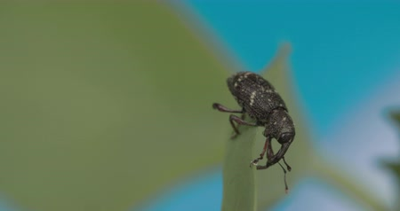 stag beetle : Black large weevil crawling on the leaf 4K  Stock Footage