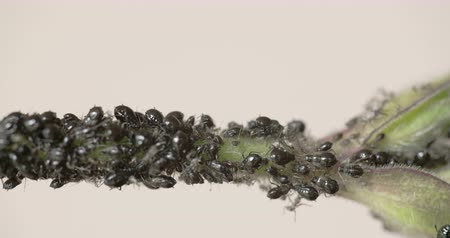 disambiguation : The flock of small black aphids on a stem of a plant  Stock Footage