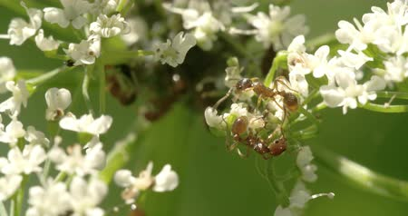 disambiguation : Two aphids crawling to each other on the flowers 4K Stock Footage