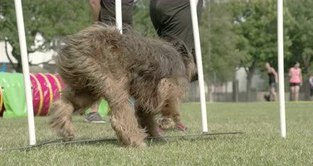 domestic animals : A big furry dog crossing over the obstacles on a dog show 4K