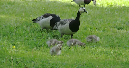 liba : Three goose and four goslings eating on the grass 4K   Stock mozgókép