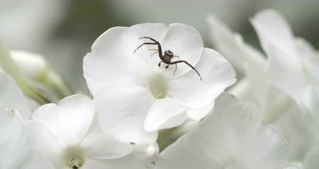 thomisidae : A black crab spider on the flower. The crab spider or known as Thomisidae is on the top of a white colored petal of a flower