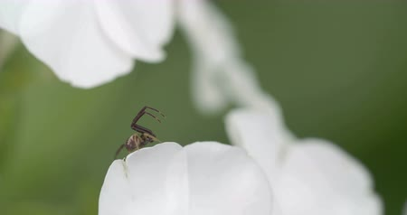thomisidae : The Thomisidae spider is on the edge of the white colored petal of a flower. Among the Thomisidae it refers most often to the familiar species of flower crab spiders though not all members of the family are limited to ambush hunting in flowers. Stock Footage