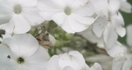 thomisidae : The crab spider or Thomisidae is crawling on the white flower. Among the Thomisidae it refers most often to the familiar species of flower crab spiders though not all members of the family are limited to ambush hunting in flowers. Stock Footage